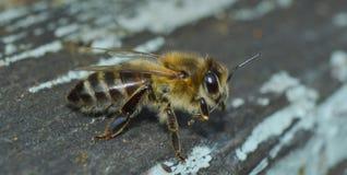 bee Royalty Free Stock Photos
