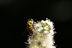 Bee. Macro shot of a nee Stock Images