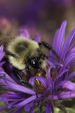 Bee macro Royalty Free Stock Images