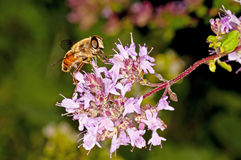 Bee on majoram Royalty Free Stock Images