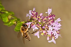 Bee on majoram Stock Photography