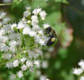 Bee making pollen Royalty Free Stock Photography