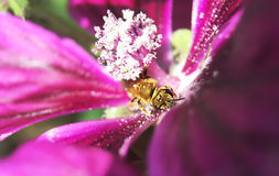 Bee on mallow flower. Blurry. Bee on mallow flower.  Macro photography. Blurry Stock Photos
