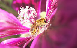 Bee on mallow flower. Blurry. Bee on mallow flower.  Macro photography. Blurry Stock Photo