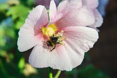 Bee on a malva flower. Top view of close-up bee sits on a malva flower Stock Photos