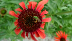 Bee and mama mia echinacea coneflower Royalty Free Stock Photography