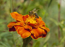 Bee on a marigold Stock Images
