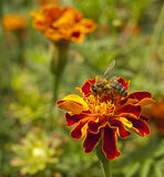 Bee on a marigold Stock Photo