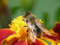 Bee and Marigold Stock Photo