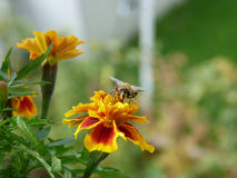 Bee and marigold Royalty Free Stock Image
