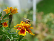 Bee and marigold Stock Images