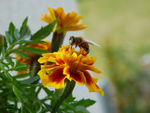 Bee and marigold Royalty Free Stock Photos