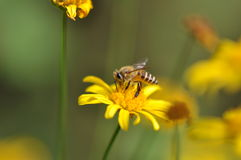 Bee and marigold Stock Photos