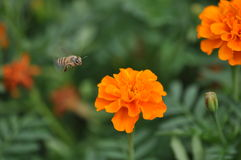 Bee and Marigold flower Stock Photos