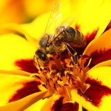 Bee on marigold flower Royalty Free Stock Photo