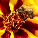 Bee on marigold flower Stock Image