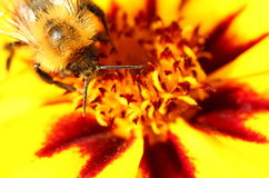 Bee on marigold flower Royalty Free Stock Image