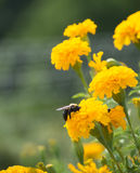 Bee on Marigold Royalty Free Stock Photo
