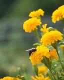 Bee on Marigold. Bee on yellow marigold - pollinating Royalty Free Stock Photo