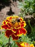 Bee on marigold Royalty Free Stock Photo