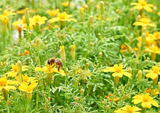 Bee in the meadow with yellow flowers. Close up Royalty Free Stock Photography