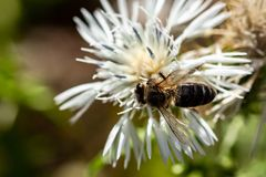 Bee and white Flower Gozo royalty free stock image