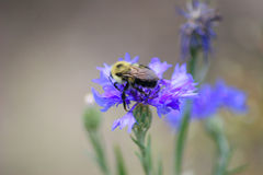 Bee meets Cornflower. Close up of a bee on a cornflower stock photo