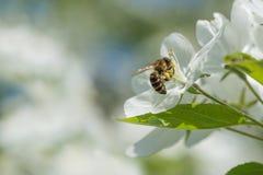 Bee melliferous Royalty Free Stock Photos