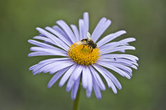 A Bee and a Midge on a Lilac Camomile Royalty Free Stock Images
