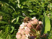 Bee on the milk weed Stock Photography