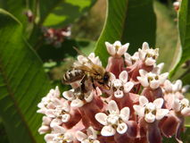 Bee on the milk weed Stock Image