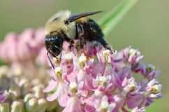 Bee on Milkweed. A bee on wild pink milkweed in summer stock photo