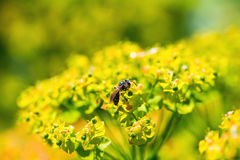 Bee on milkweed. Bee on yellow flowers milkweed, summer garden royalty free stock images