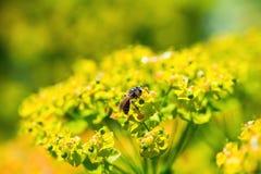 Bee on milkweed Royalty Free Stock Images