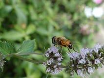 Bee on mint flower stock photo