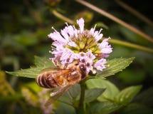 Bee on mint. Bee on a flower meadow mint Stock Photo