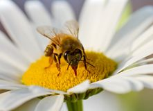 A bee on a Mother chrysanthemum Stock Photo