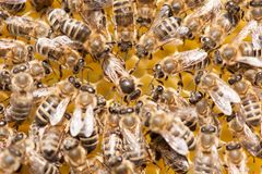 Bee mother on honeycomb with surrounded honeybees layong eggs. Bee family stock photo