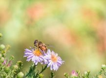 Bee moving from flower to flower pollinating as it goes.  Stock Photography