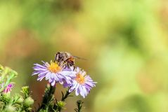 Bee moving from flower to flower pollinating as it goes.  Royalty Free Stock Photo