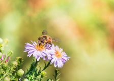 Bee moving from flower to flower pollinating as it goes.  Stock Photo