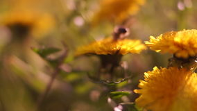 Bee Moving To Other Dandelion stock footage