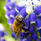 Bee on muscari flowers Stock Photography