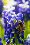 Bee on muscari flowers Royalty Free Stock Image