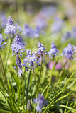 Bee on Muscari or Grape Hyacinth Royalty Free Stock Images