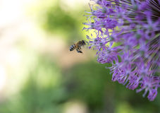Bee near purple flower in flight Royalty Free Stock Photography