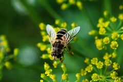 Bee Nearby Yellow Cluster Petal Flower Royalty Free Stock Images