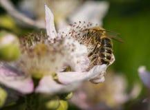 Bee nektar licking on blackbeery blossom Royalty Free Stock Photos
