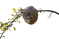 Bee Nest Royalty Free Stock Image