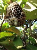 Bee Nest with Two Bees on Bush Branches. Stock Photos